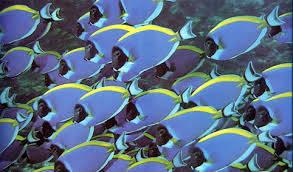 Acanthuridae