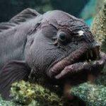 Anarhichadidae