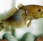 ¿Qué es Eleotridae?