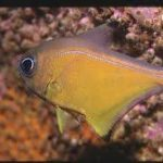 ¿Qué es Pempheridae?