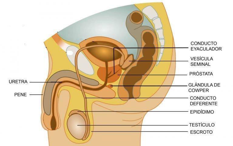 ¿Qué es la vesícula seminal y la glándula prostática?