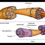 ¿Qué es sarcolémico?