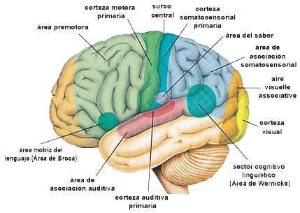 Qué es somatosensorial? Definición, concepto y significado.
