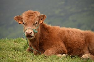 tener-la-vaca-atada-300x200.jpg