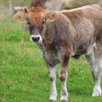 ¿Qué es pata 'e vaca?