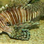 ¿Qué es Scorpaenidae?