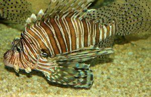 Scorpaenidae-300x193.jpg