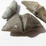 ¿Qué es braquiópodo?