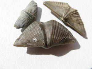 braquiópodo-300x225.jpg