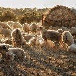 ¿Qué es ovino?